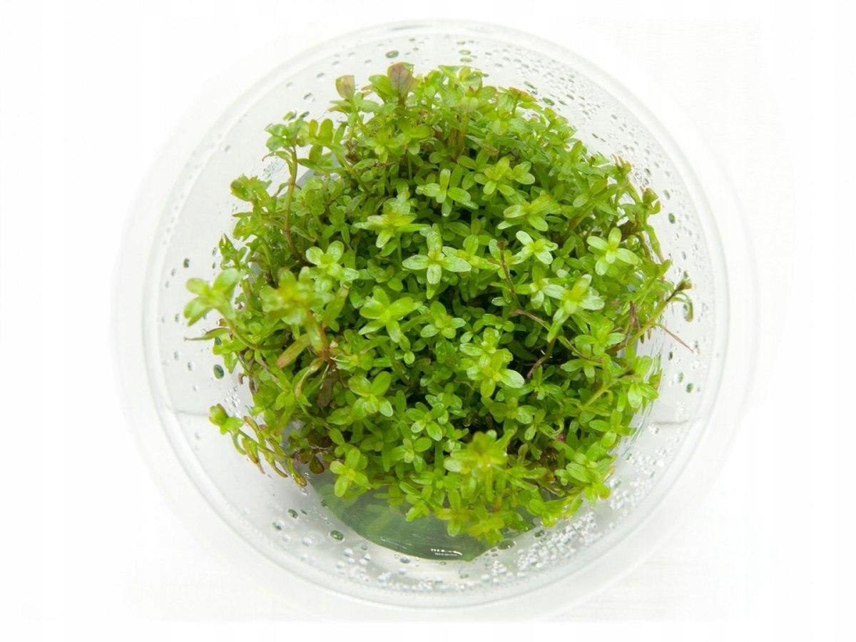 Rotala Colorata (Yao Yai) kubek 10cm in vitro